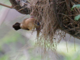 African Silverbill, at nest
