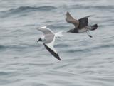 Long-tailed Jaeger, juvenile, following Sabine's Gull