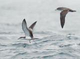 Birds -- Bodega Bay pelagic, September 27, 2012