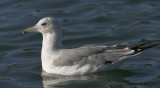 California Gull, third summer