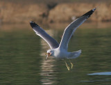 California Gull, winter, with fish