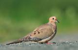 Hummingbirds and a Dove