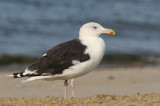 Great Black-backed Gull, adult winter