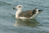 Great Black-backed Gull, third winter