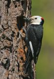 White-headed Woodpecker, male feeding young