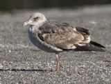 Western Gull, second winter