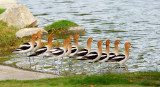 American Avocets, standing flock