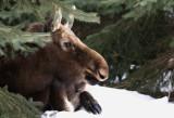 Orignal de ville - City moose