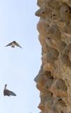 Birds of Smartsville