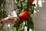 The Mother of All Tomatoes