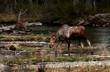 Young Moose - Seen at Moose Junction in Grand Teton National Park