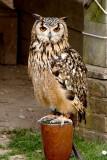 India Owl - Sadly Captive