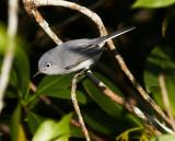 Bluegrey Gnatcatcher
