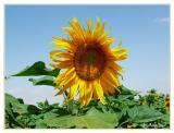 Sunflower  228.jpg