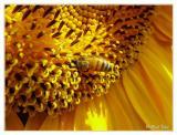 Sunflower  235.jpg