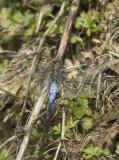 Orthetrum cancellatumBlack-tailed Skimmer [male]