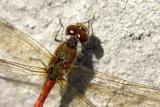 Sympetrum striolatumCommon Darter [male]