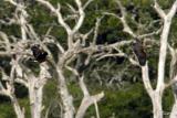 Dendrocygna javanicaLesser Whistling Duck