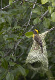 Ploceus philippinusBaya Weaver
