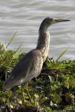 Ardeola grayii Indian Pond Heron
