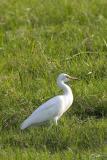 Mesophoyx intermedia Intermediate Egret