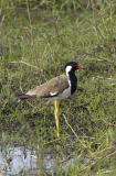 Vanellus indicus Red-Wattled Lapwing
