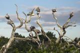 Pelecanus philippensis Spot-billed Pelican