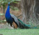Peacock at Hart Park -  Nikon D70.jpg