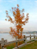 Chinese Elm Ming Lake - Minolta Dimage 7Hi.jpg