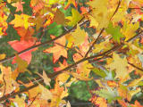 Fall Leaves - Minolta Dimage 7Hi.jpg