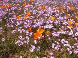 Field of Flowers - Nikon D70.jpg
