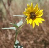 Sunflower - Nikon D70.jpg