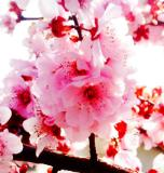 Purple Leaf Plum Blossom - Minolta Dimage 7Hi.jpg