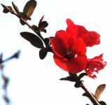 Red Quince - Minolta Dimage 7Hi.jpg