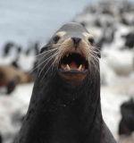 Harbor Seal1 - Nikon D70.jpg