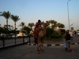 First acquaintance with an Egyptian Camel
