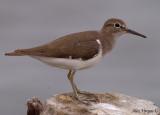 Common Sandpiper -- sp 188