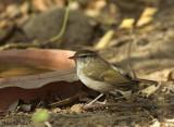 Pale-legged Warbler -- sp 46