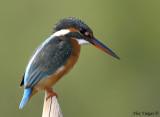 Common Kingfisher -- sp 141