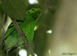 Green Broadbill -- sp 10