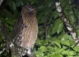 Buffy Fish-Owl -- sp 126