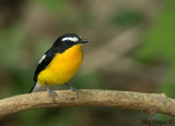 Yellow-rumped Flycatcher -- sp 207
