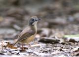 Short-tailed Babbler -- sp 227