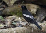 Grey-winged Blackbird- male  -- sp 210