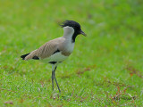 River Lapwing - sp 284