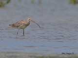 Eurasian Curlew - sp 289