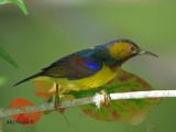 Brown-throated Sunbird - sp 296
