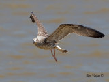 Heuglin's Gull -- sp 197