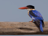 Black-capped Kingfisher -- sp 142