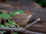 Puff-throated Babbler -- sp 35
